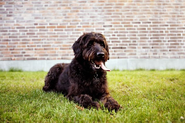 my Bernedoodle!!  Doodle dogs like Labradoodles, Goldendoodles, Schnoodles, Aussiedoodles and Bernedoodles can make smart, friendly pets. Read up on five hybrids that began by mixing a Poodle with other popular dog breeds.