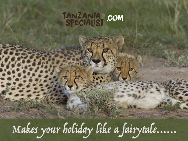 EN: Mother cheetah and cubs resting after a meal. Cheetah is a fastest animal in the world, they can reach a speed of 100km/h.