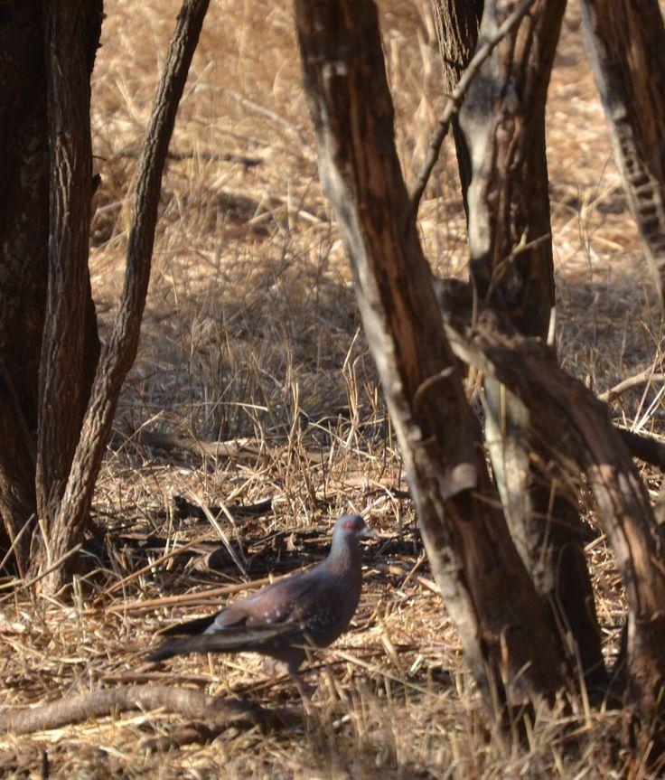 Rock Pigeon at Sondela