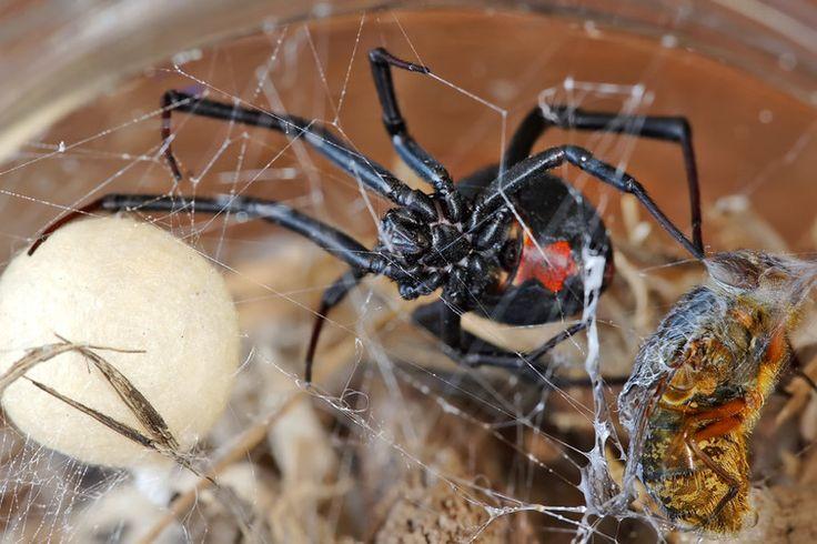 Hidden housemates: the Australian redback spider