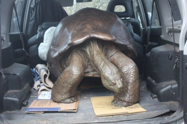 #Bronze #sculpture by #sculptor Gill Parker titled: 'Galapagos Tortoise I (Giant life size sculpture)'. #GillParker