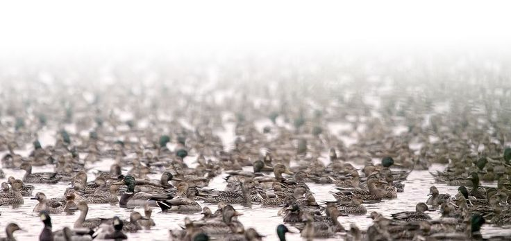A Lot of Ducks Photo by Paul Yates -- National Geographic Your Shot