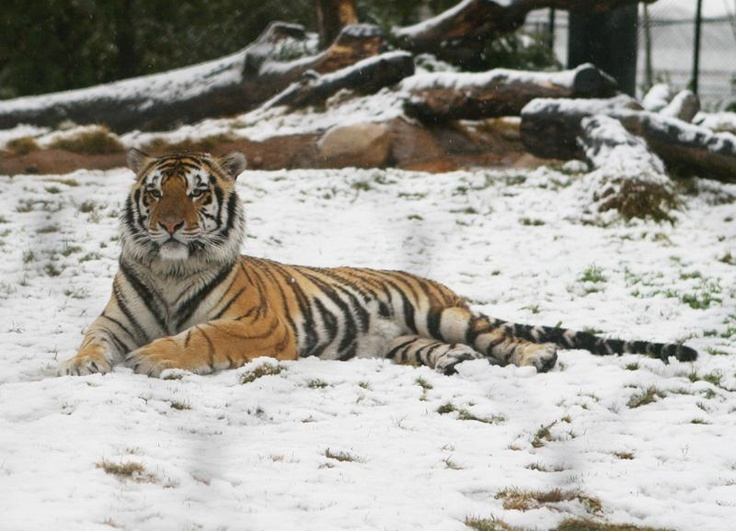 mike the tiger (vi) in the snow in '08
