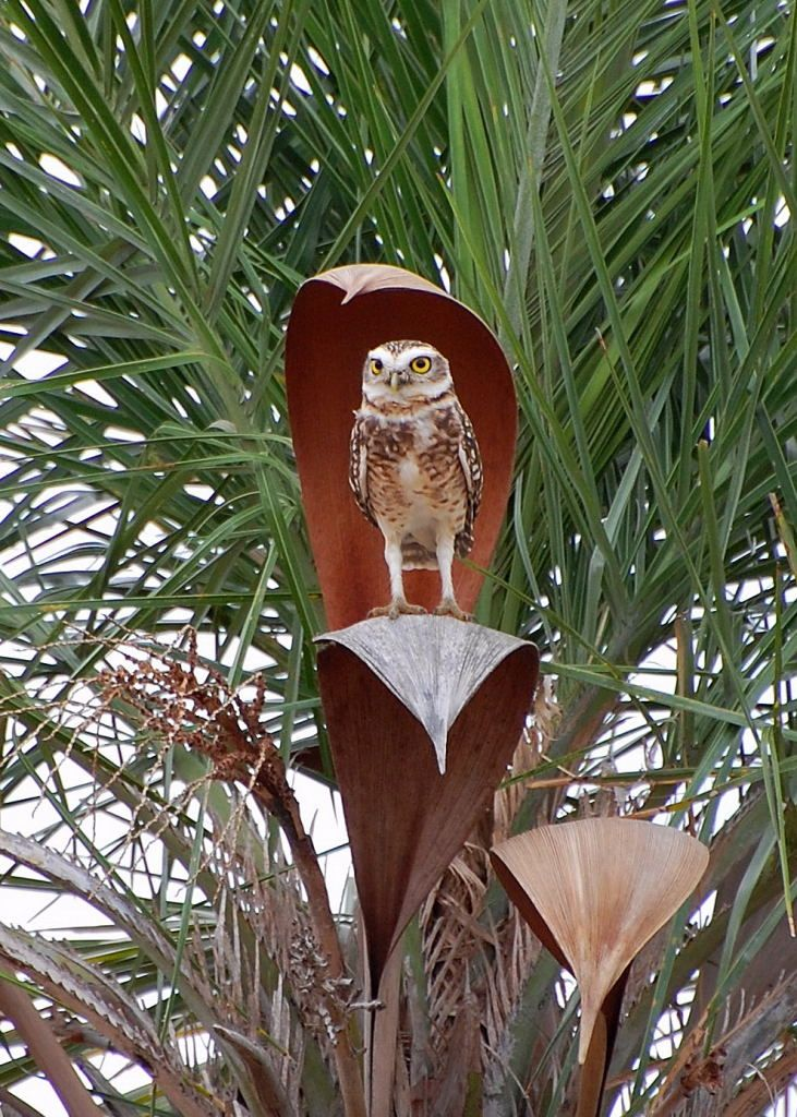 Burrowing Owl - the perfect perch?
