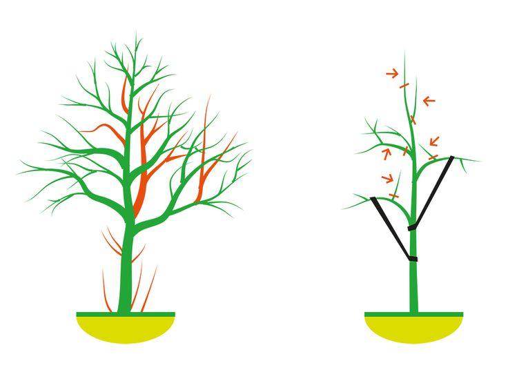 Řez dřevin je jednou z nutných podmínek pro jejich dlouhý a plodný život. Jaké zásady je třeba dodržet a jaká specifika mají jednotlivé stromy a keře?