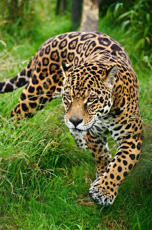 Stunning jaguar Panthera Onca prowling through long grass by Matt_Gibson on Getty Images