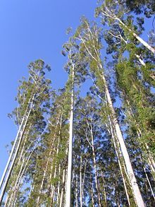 Eucalyptus grandis - Wikipedia, the free encyclopedia