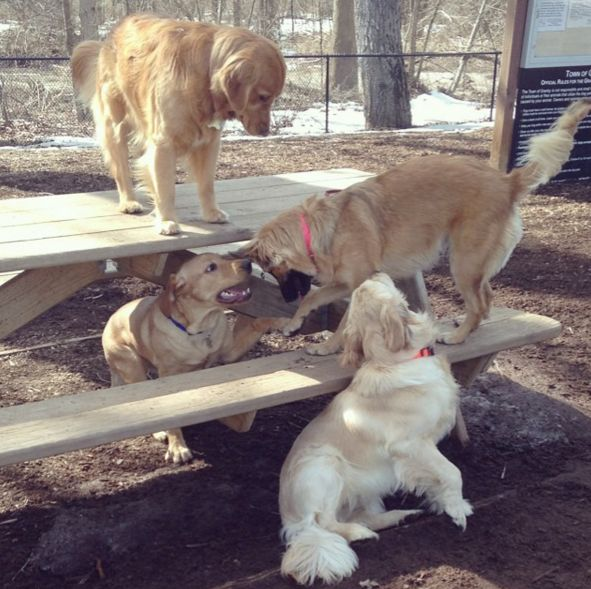 It's a golden get together at Granby D.O.G.G.S. Park at Salmon Brook Park - Granby, CT - Angus Off-Leash #dogs #puppies #cutedogs #dogparks #goldenretrievers #granby #connecticut #angusoffleash
