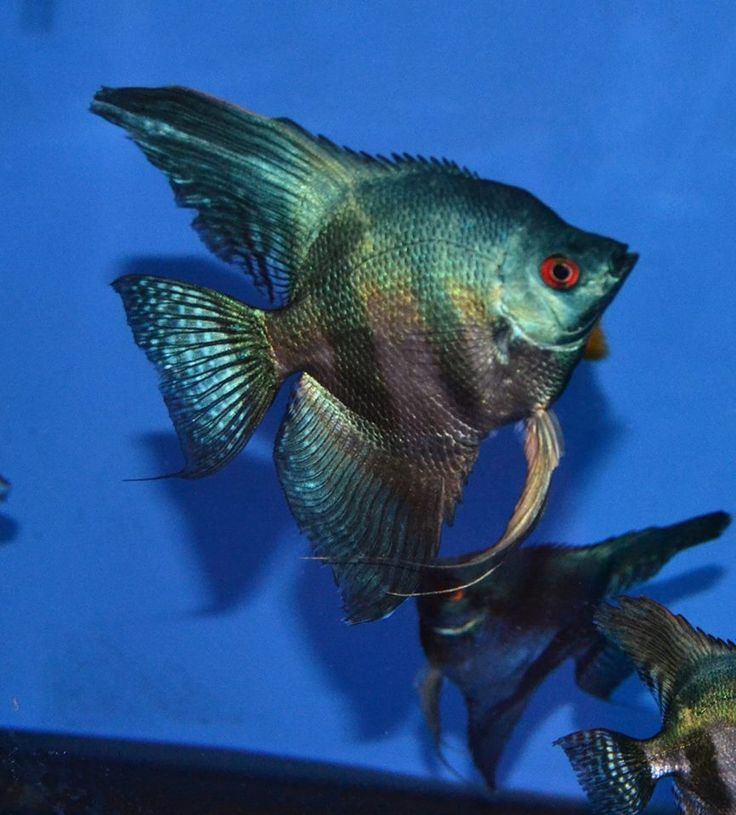 252 best images about angelfish on pinterest cichlids for Freshwater angel fish