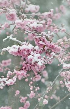 Japanese cherry blossoms in snow.