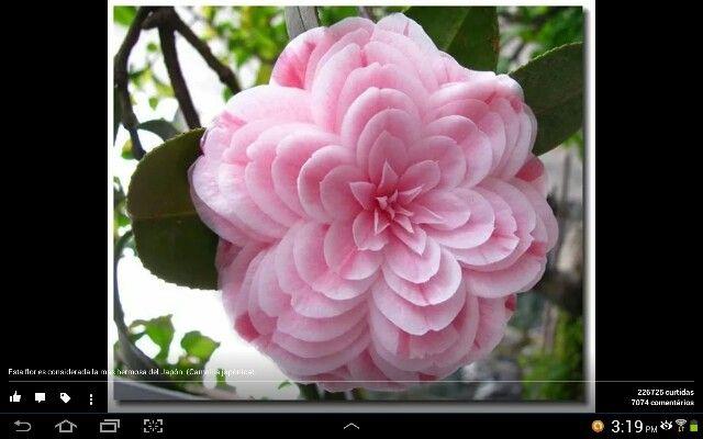 A flor mais bonita do Japão