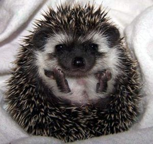 Black Hedgehogs | algerian black the quills are cream heavily banded by black and rust ...