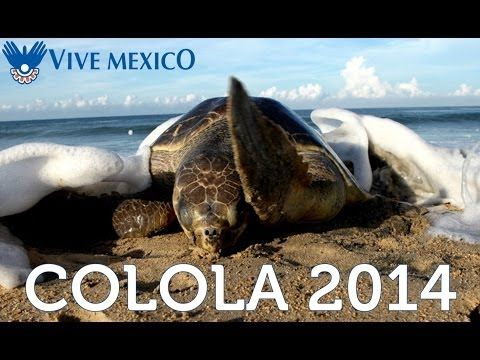 Colola workcamp with marine turtles