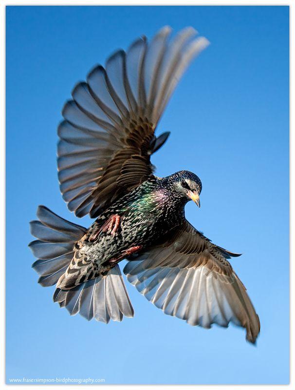 Fraser's Birding Blog: Starlings: Frozen in Flight