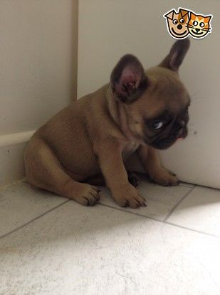 """""""I didn't do nothin'"""", embarrassed French Bulldog Puppy"""