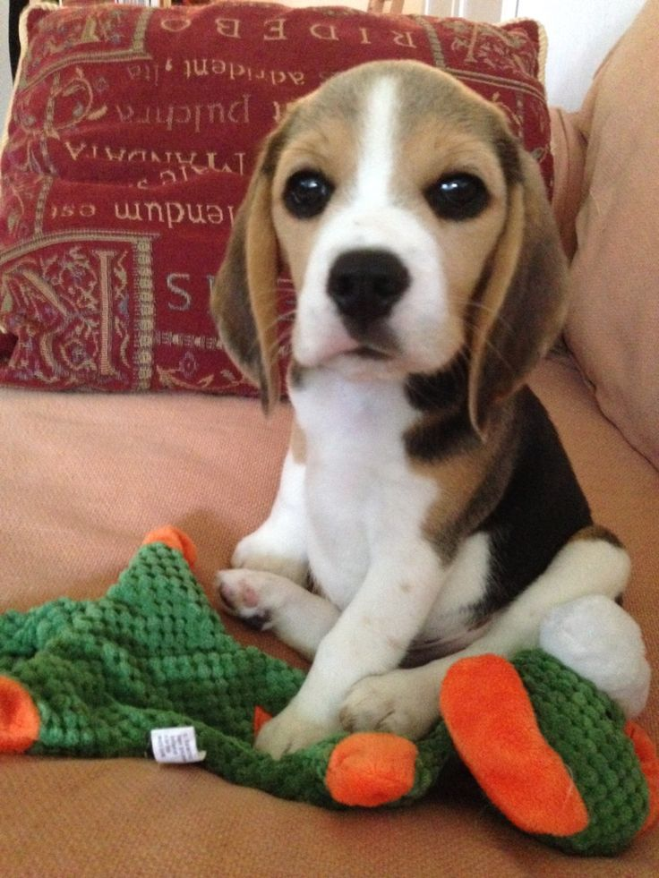 66 best beagles images on pinterest beagles beagle for Best dog breed for you