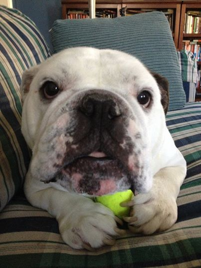 Baggy Bulldogs - The most adorable bulldog in the world, protecting his tennis ball!