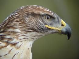 After seeing a hawk every day for the past few weeks I began to question the irony. someone suggested I look up the meaning of the hawk spirit and I was amazed by the message. What a wink from God this was! ; )