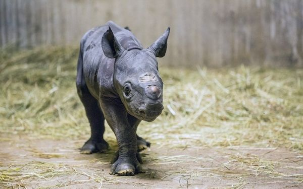Baby Black Rhino | Cute Animal Pictures | Pinterest