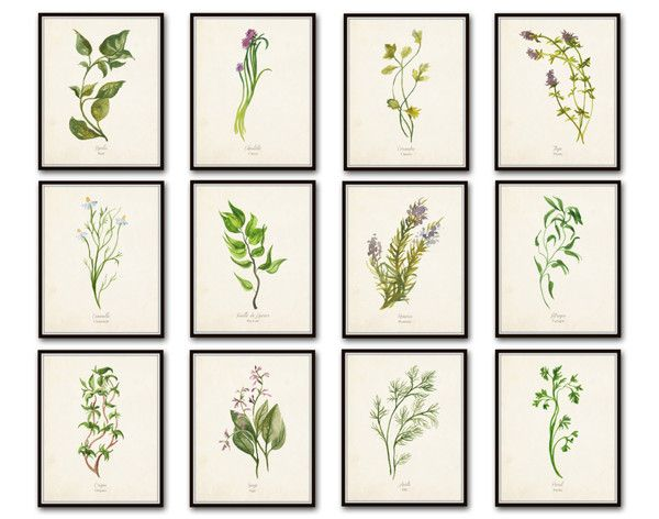 Watercolor Herbs Botanical Print Set No.5 - 12 Herb Prints