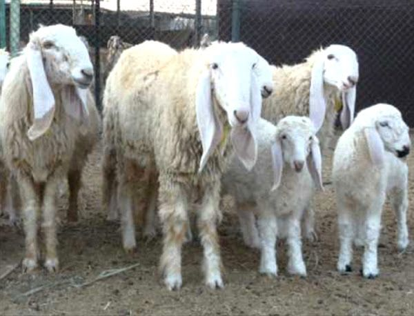 List Of Sheep Breeds Different Types Of Sheep For Raising Commercially In 2021 Sheep Breeds Sheep Breeds