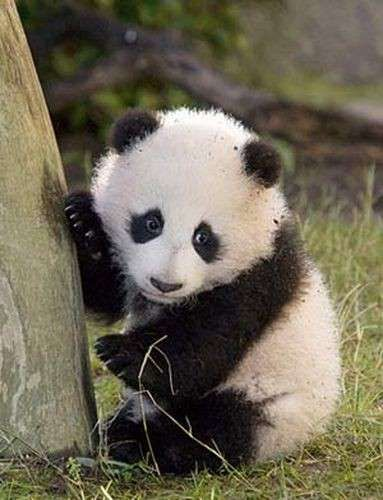 Le foto dei cuccioli di uno degli animali rari più dolce: il panda - Panda che si arrampica