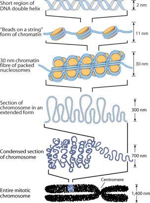 chromosome condensation - Google Search | Genetics ...