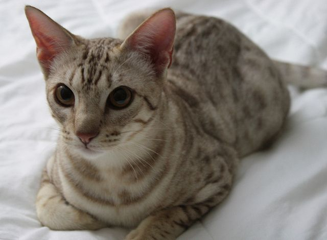 [Feline 101] The Ocicat