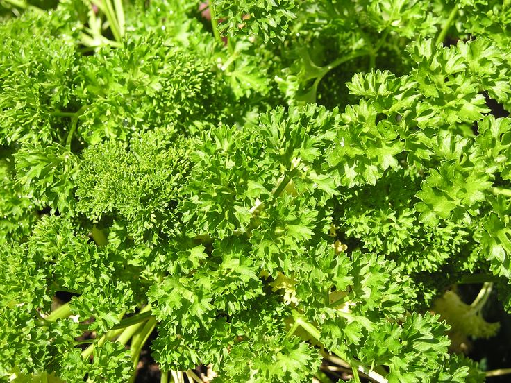 Culinary Herbs as Home Remedies: Parsley