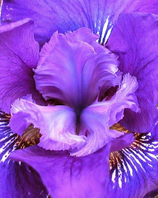 Iris 'Harpswell Valor', close up