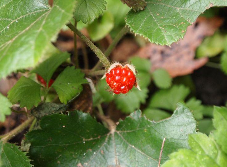 フユイチゴ(冬苺、Rubus buergeri)は、バラ科キイチゴ属の常緑匍匐性の小低木である.