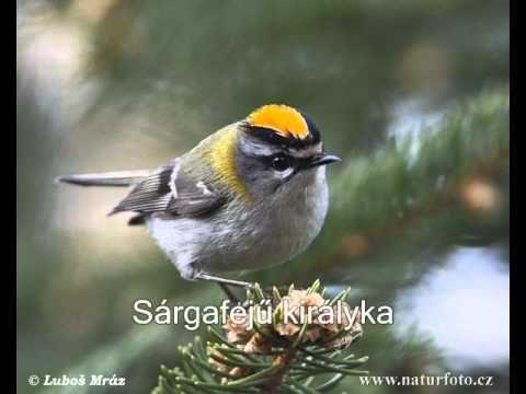 Kertünk madarai és hangjaik 9