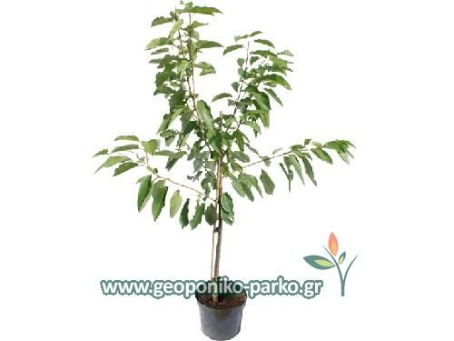 Καρποφόρα - Οπωροφόρα δέντρα : Κερασιά Δέντρο 2 ετών - Τραγανά - Μπούρλα…