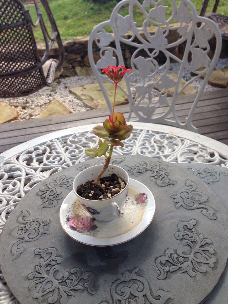 Teacup vintage succulents flower