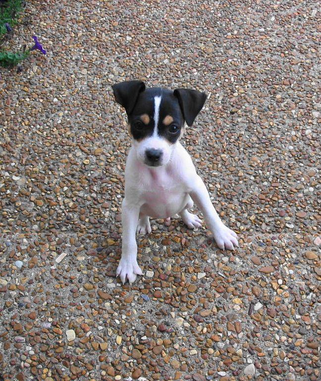 Toy Fox Terrier looks like my Yodee :-)