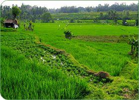 Bali Ubud, fietstocht tussen de rijstvelden