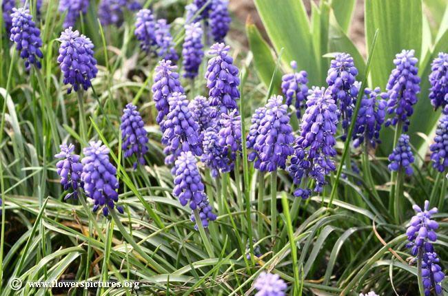 Grape hyacinth flower (24)