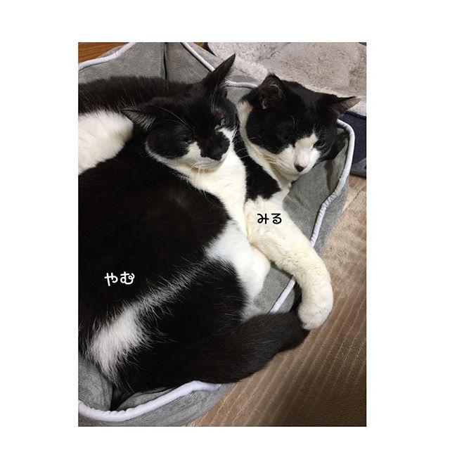 #lovecat#кошка#instagood #instaanimal#lechat#katze#愛猫#cat #はちわれ#猫#ねこ#ネコ#ぬこ#猫好き #シロクロ#neko#ねこ部#miru#ねご #고양이#癒し#ミル#ヤム#yamu #ミルヤム大好き#miruyamu #ぎゅうぎゅう ★ ★ 容量オーバーやで(^_^;) ★ ★