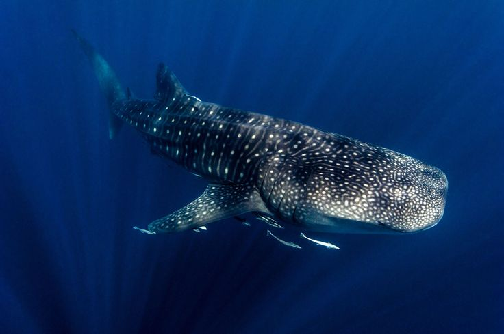Migrating Whale Shark