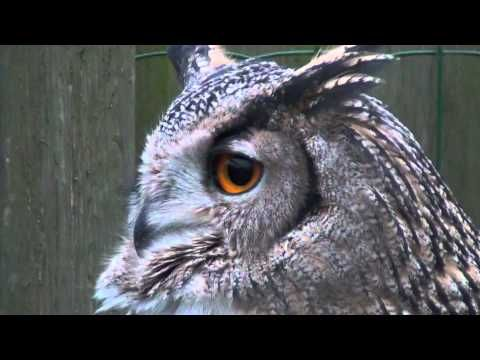 eurasian eagle owl hooting // There used to be an owl near my house that I would hear hooting at night. I miss it.