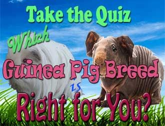 Guinea Pig Quiz:  Which Guinea Pig Breed is Right for You | http://abyssinianguineapigtips.com/guinea-pig-quiz-guinea-pig-breed/