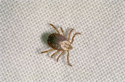 The tick is dangerous animal for us and carry a many diseases in which most common is lyme diseases. Lyme disease is a bacterial infection , caused by borrelia burgdorferi, which lives in the saliva of ticks and can be transferred by the bite. Get Now: http://www.critterandpestdefense.com/services/tick-control/