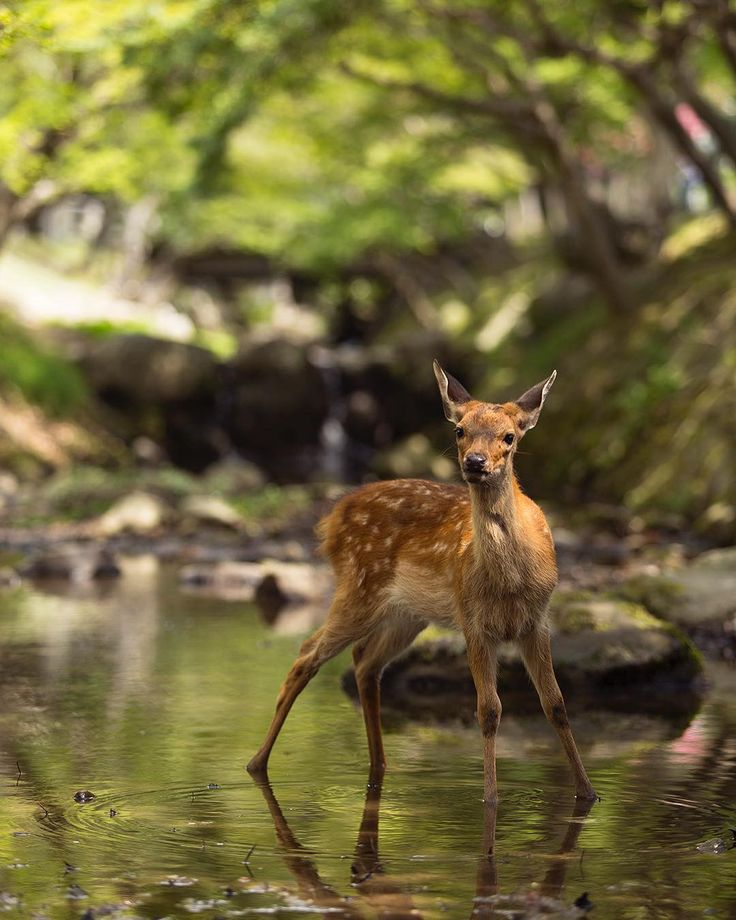 86/365. Nara Japan. A young deer in the water.