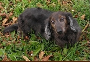 Rodney is an adoptable Dachshund Dog in Brownsburg, IN. Meet Rodney. Rodney and his brother AJ were surrendered to animal control due to their owners moving and not taking them with them. It's a sad s...