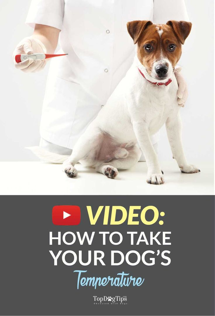 VIDEO: How To Take A Dog's Temperature With a Thermometer. Learning how to take a dog's temperature could actually be a huge benefit if your dog becomes ill. It's one of the best ways to catch an illness before it becomes something more serious. #howto #video #dog #temperature #youtube #tips #videos #dogs #pets #temp #thermometer