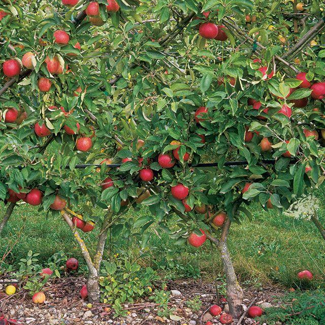Perfect Backyard Apple Trees