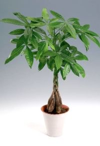 PACHIRA aquatica 1Παχίρα Η Παχίρα διαθέτει ανάπτυξη αργή έως μέτρια. Αποκαλείται Money Tree και είναι ένα από τα αγαπημένα φυτά στη θεωρία του Feng-shui. Το ύψος τους μπορεί να αγγίξει και τα 2 μέτρα. Η παχίρα αποτελεί ιδανικό δώρο για εγκαίνια καταστημάτων, επαγγελματικά δώρα ή για νεόνυμφους καθώς όπως είπαμε είναι το φυτό που φέρνει καλή τύχη και χρήματα. Πολύ ανθεκτική και ευκολοπροσάρμοστη.