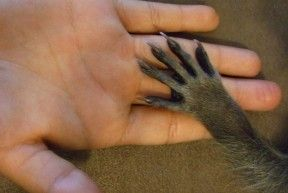 Comparison between a human hand and a raccoon's paw.