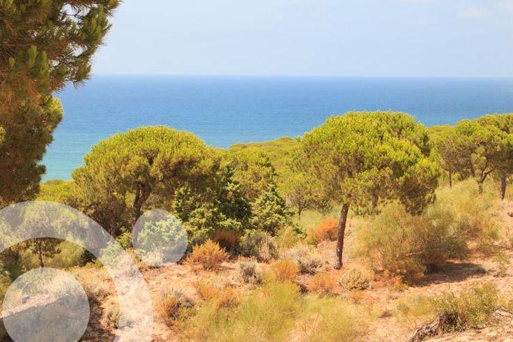 Stone pines in La Breña Natural Park
