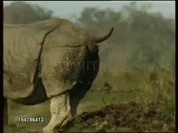 Rhino Pooping GIF - Rhino Pooping Enormous - Discover & Share GIFs